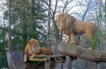 Lion-1024x683